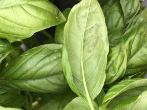 Basil downy mildew