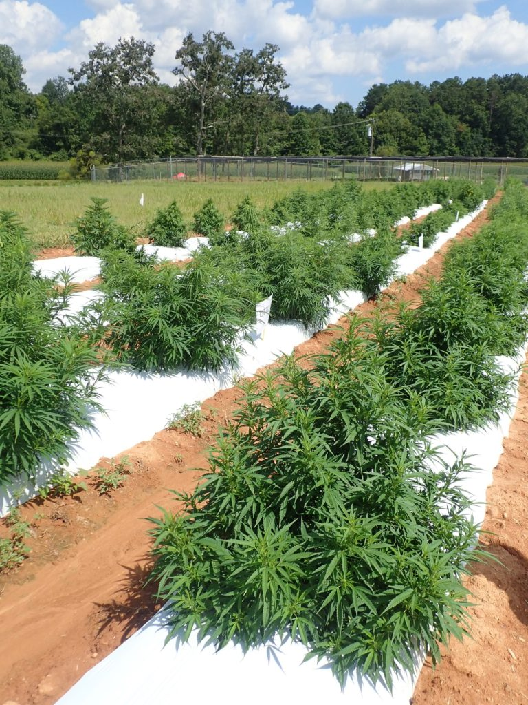 Image of hemp plants