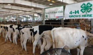 Cover photo for 2020 Dairy Beef Feeder Calf Program