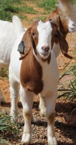 Cover photo for Western NC Virtual Lamb and Goat Show