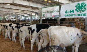 Dairy Steer Calves