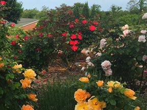 Roses in the Learning Garden