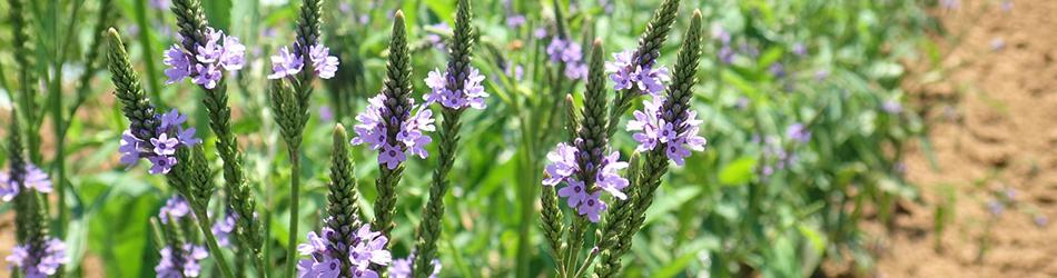 A field of purple Vervain