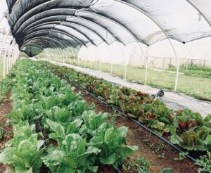 Vegetables grown under a shade cover.