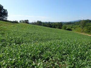 A field of lush and healthy forages for livestock.