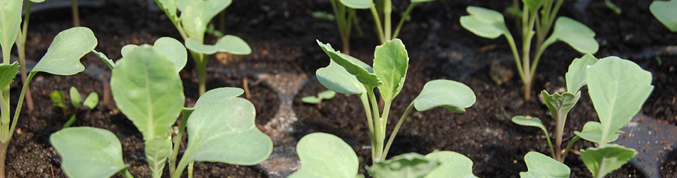 Seedling cabbage