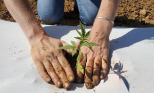 Person planting a hemp plant.